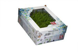 Salicornia Cress_0175a