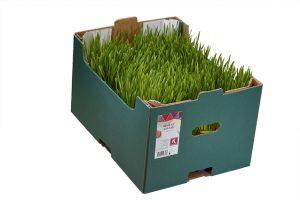 Wheat Grass_0202a